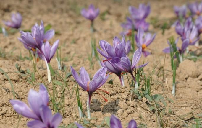 Cần mua hồng hoa tây tạng saffron pushali