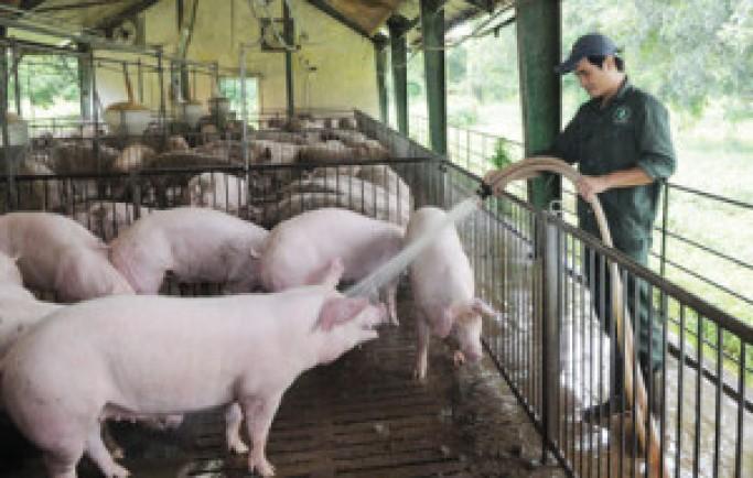 Chăn nuôi lợn cần biết những điều này
